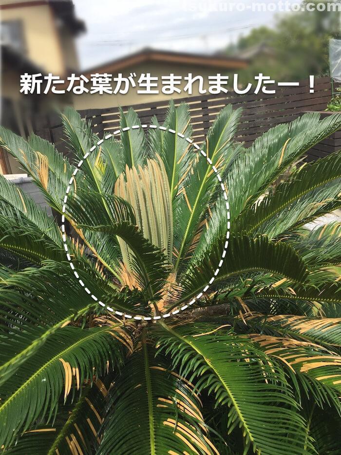 ソテツの新芽